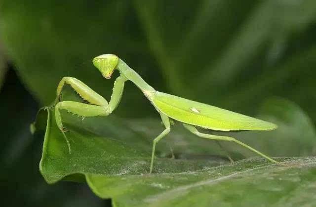 做梦梦到螳螂爬到自己身上寓意着什么?