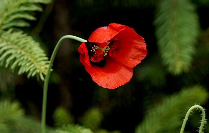 治痢疾治黄疸的偏方中草药——丽春花