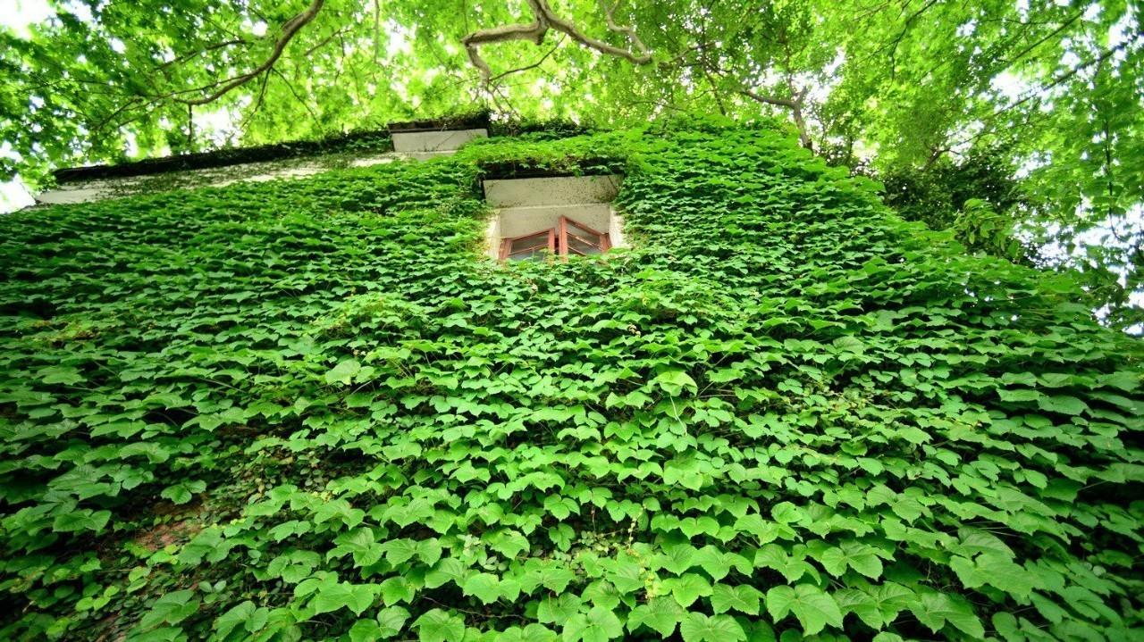"""为什么""""墙生花草,家风不牢""""?这种植物不能种!"""